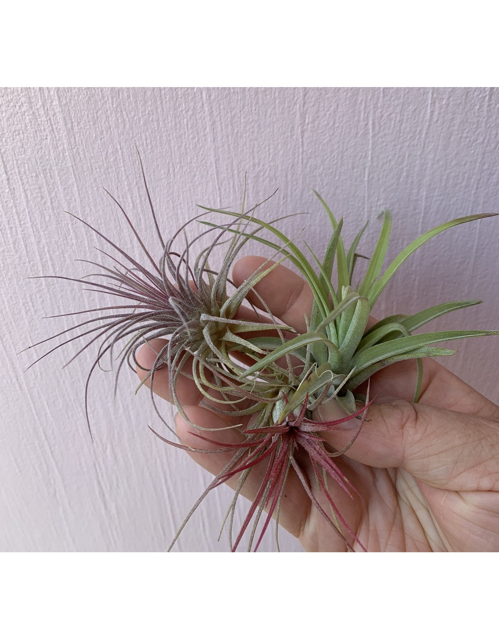 Plant Shop at Junebug Airplant Small - Assorted