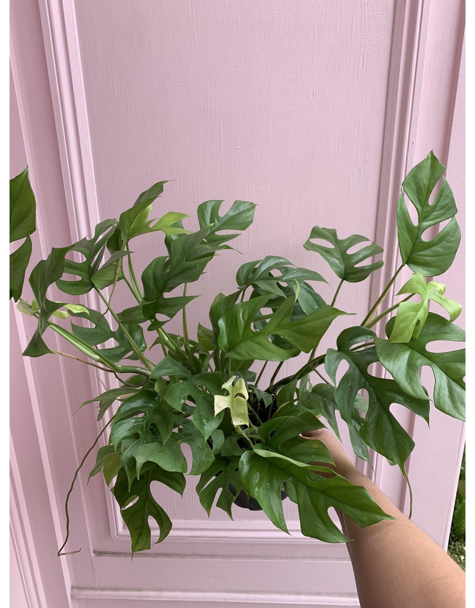 """Philodendron Minima 6"""""""