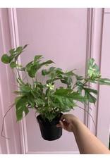 "Plant Shop at Junebug Minima Philodendron 6"""