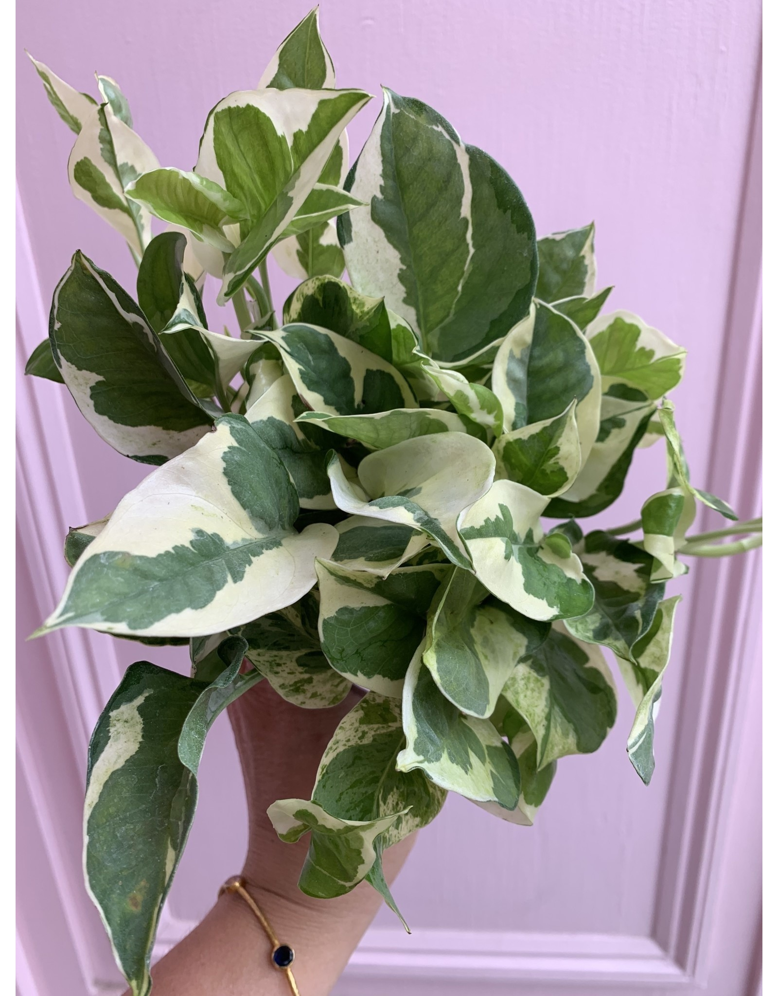 "Plant Shop at Junebug Pearl & Jade Pothos 4"""