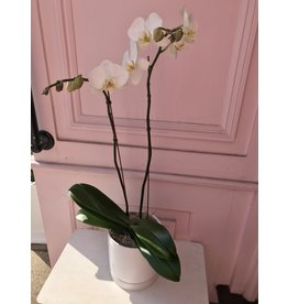 Large Double Stem White Orchid in Romey Pot