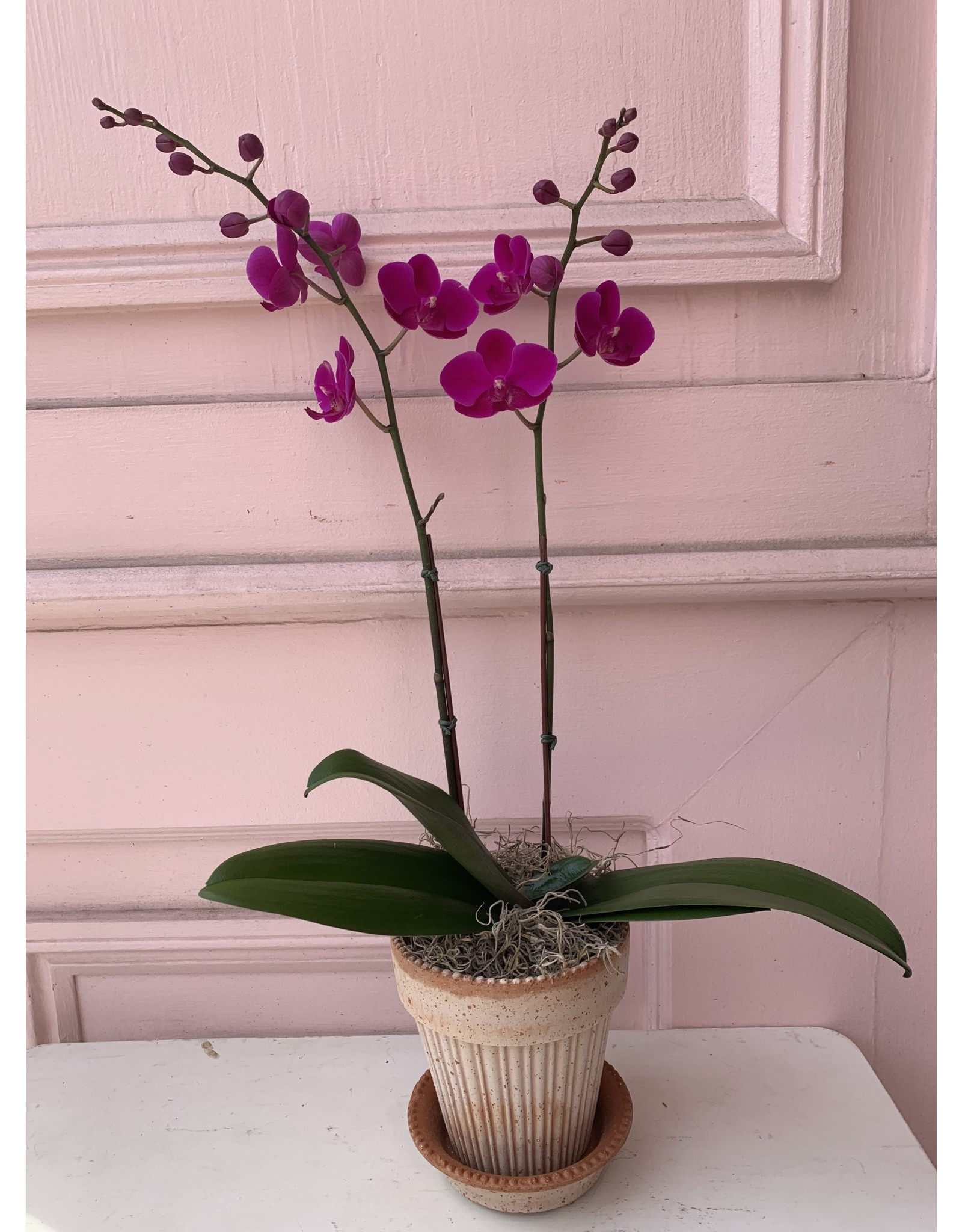 Small Double Stem Magenta Orchid in Simona Pot