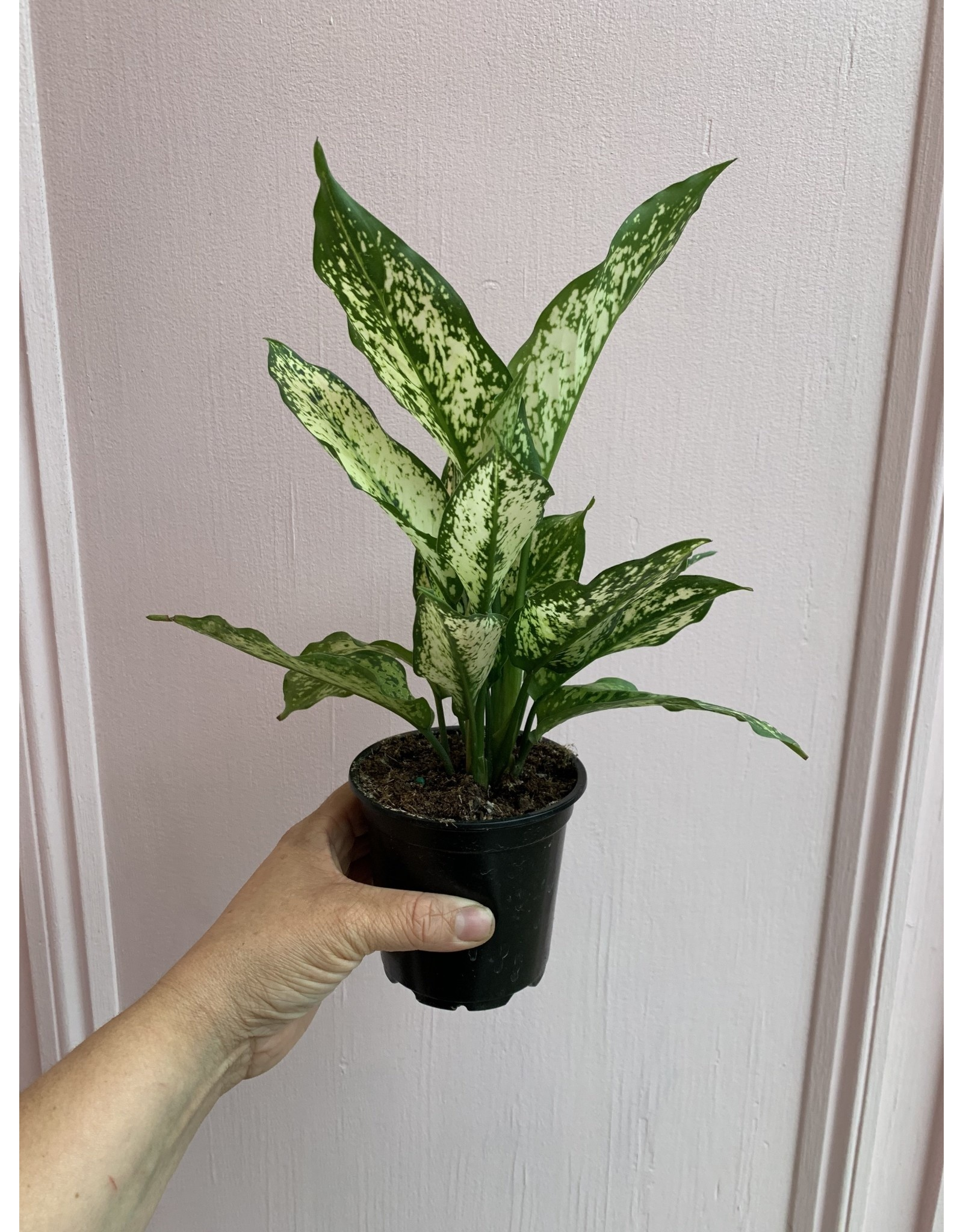 "Plant Shop at Junebug Aglaonema Wintery Winehouse 4"""