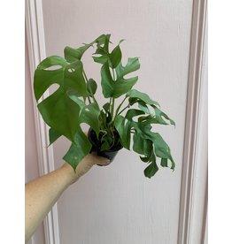 """Philodendron Minima 4"""""""