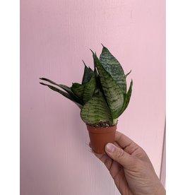 """Snake Plant 2"""""""