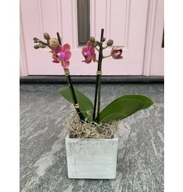 Small Double Stem Sunset Orchid in Concrete Pot