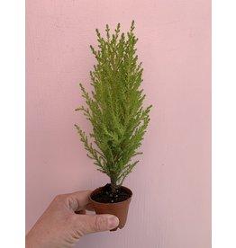 """Lemon Lime Cypress 2.5"""""""