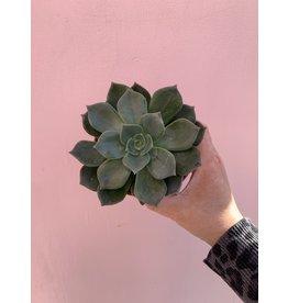 "Green Succulent 4"""