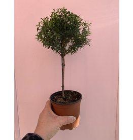 "Myrtle Topiary 4.5"""