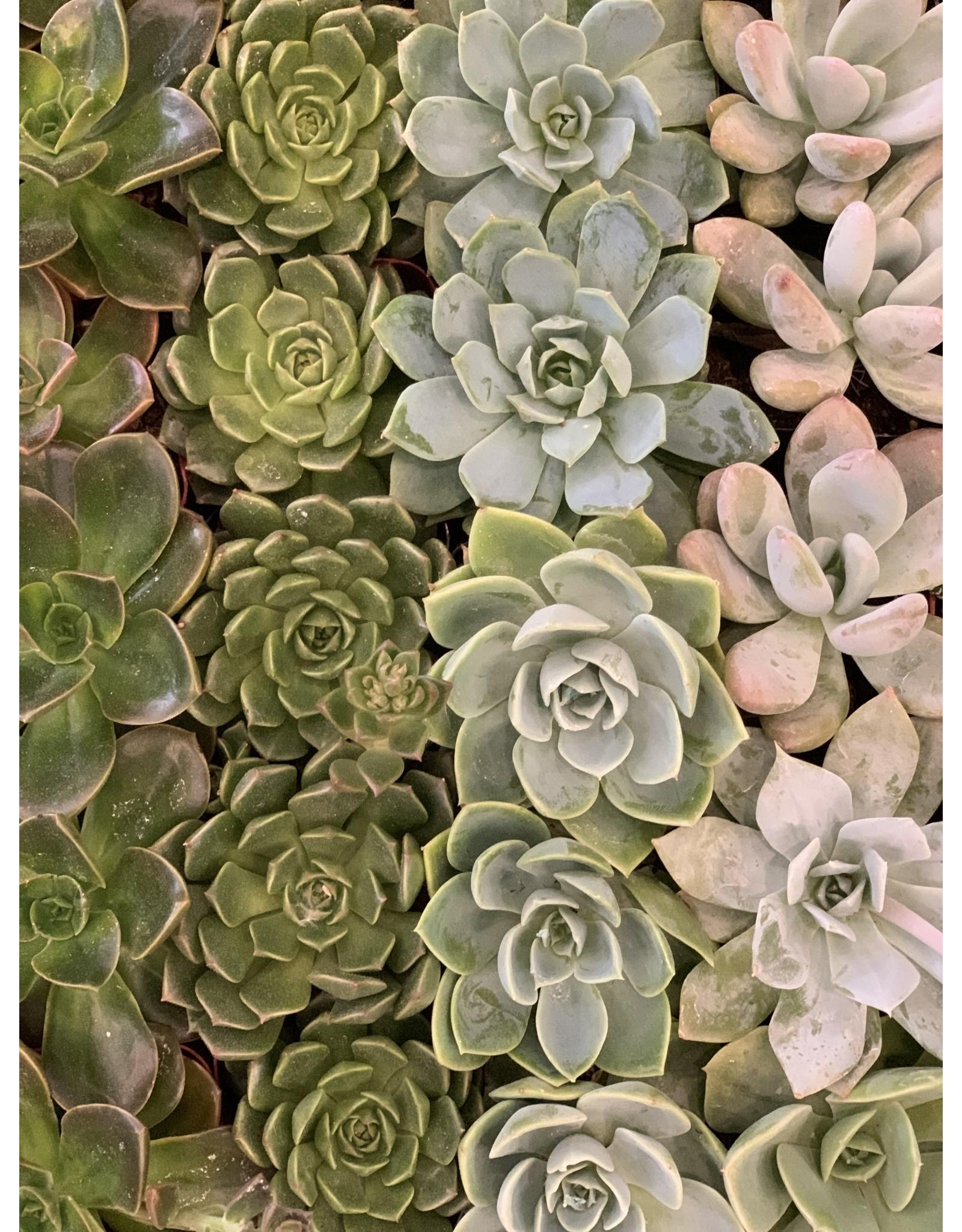 "Plant Shop at Junebug Succulent 2"" Assorted"