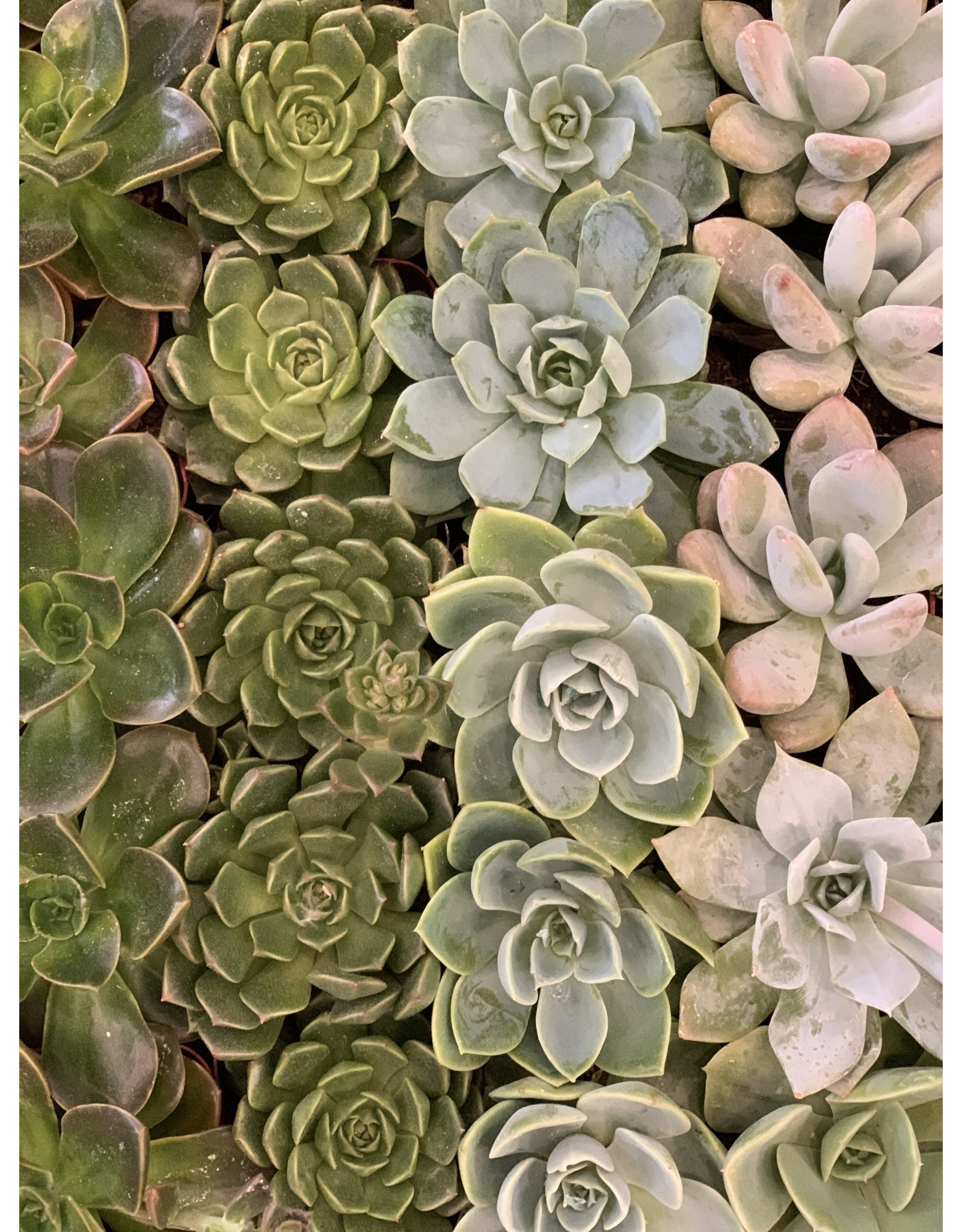 "Succulent 2"" Assorted"