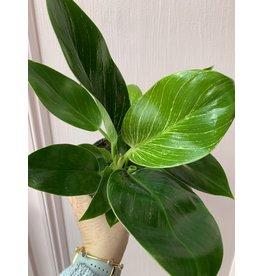 "Birkin Philodendron 4"""
