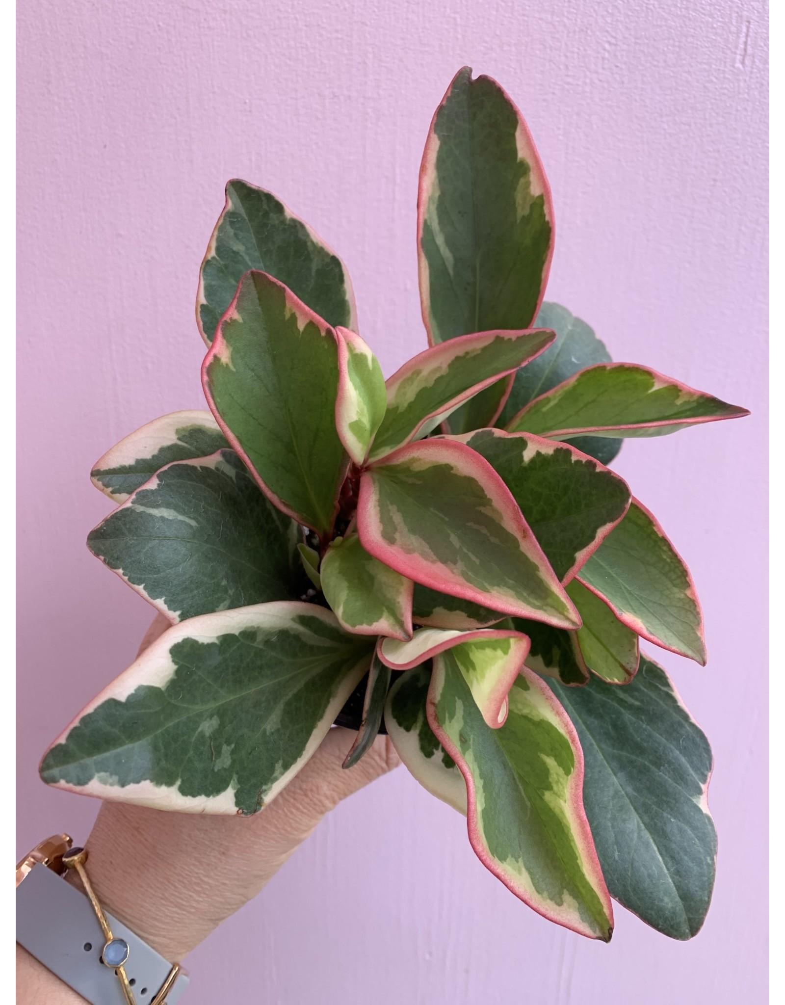 "Plant Shop at Junebug Rainbow Peperomia 4"""