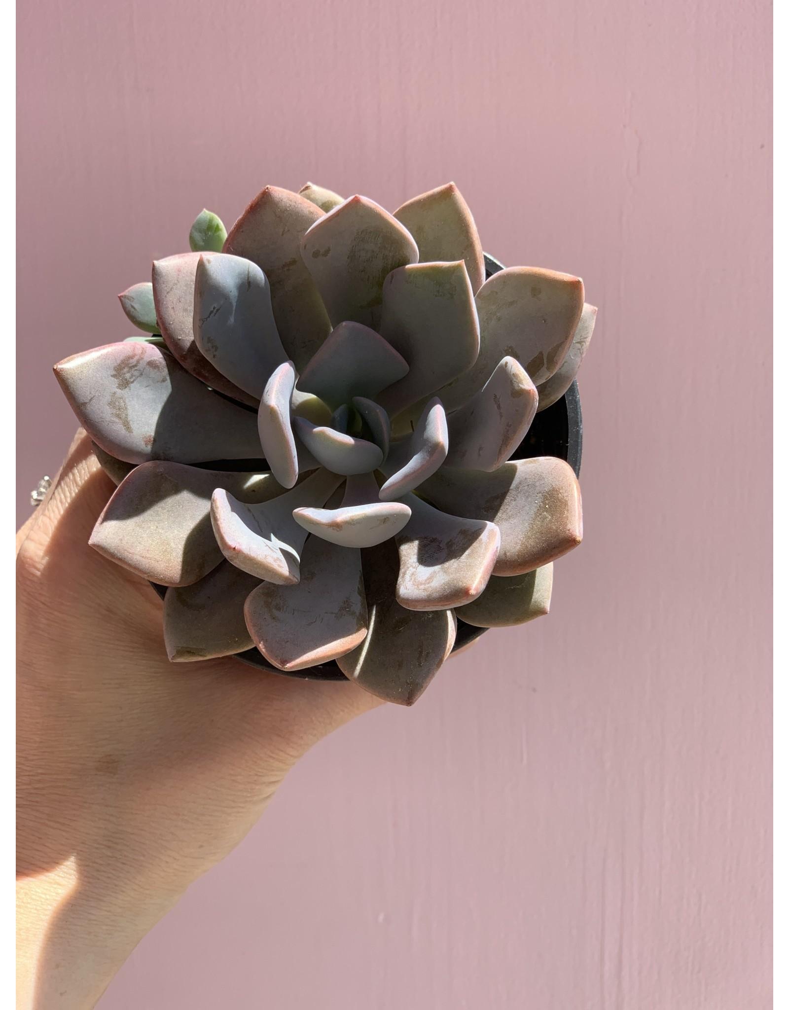 "Plant Shop at Junebug Succulent 4"" Assorted"