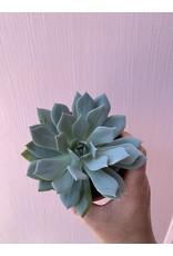 """Succulent 4"""" Assorted"""