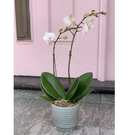 Small Double Stem White Orchid in Gray Ceramic Pot