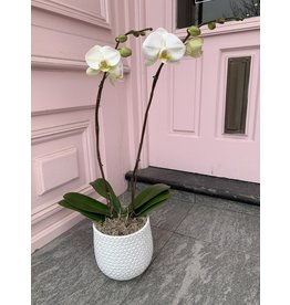 Large Double Stem White Orchid in Ginny Pot