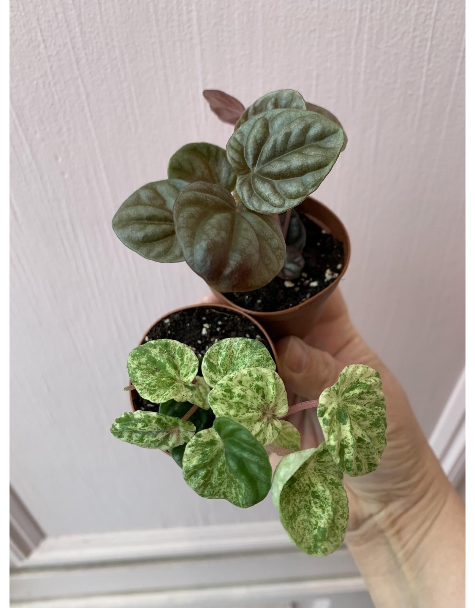 """Plant Shop at Junebug Assorted Terrarium Plants 2"""""""