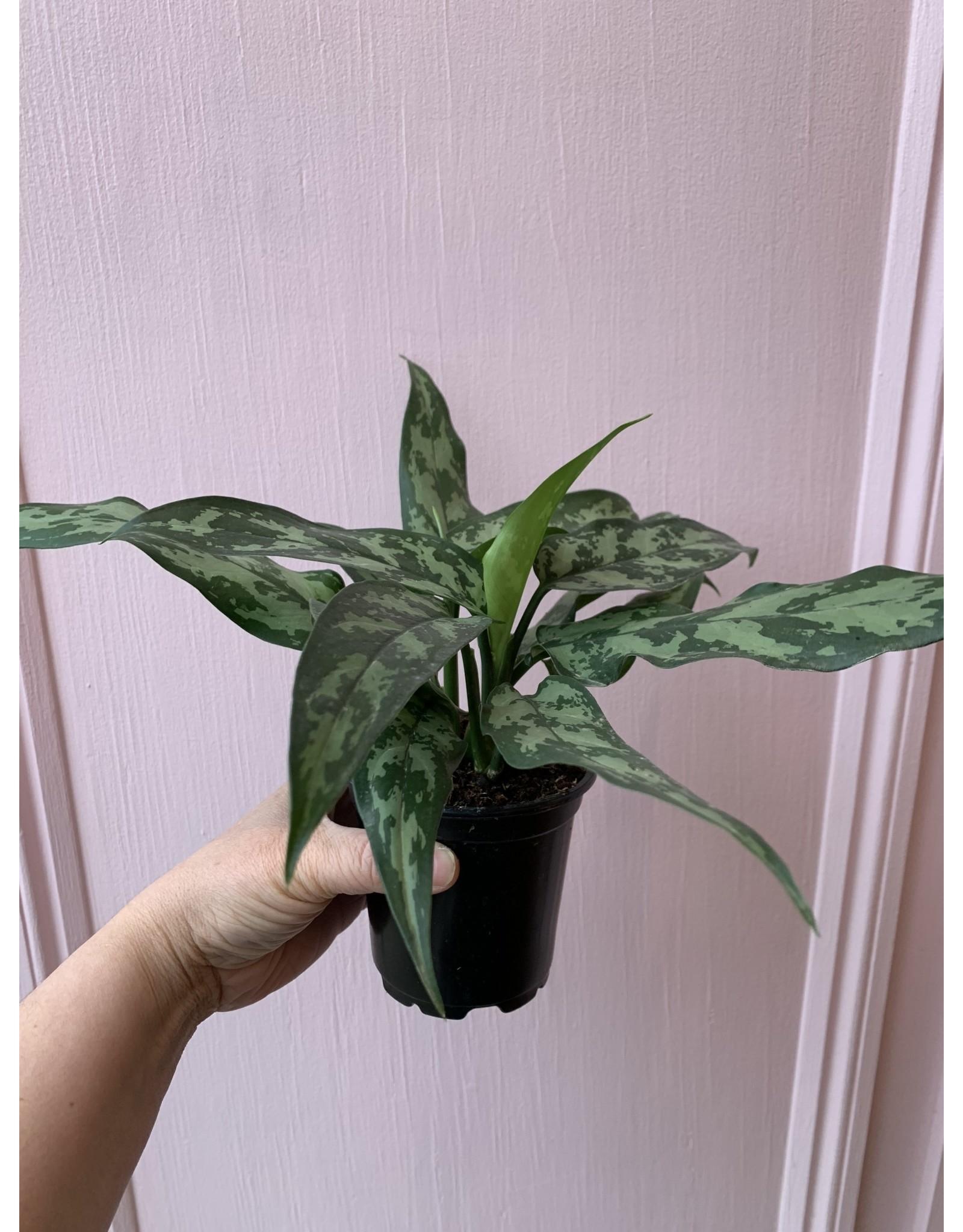 "Plant Shop at Junebug Aglaonema 4"""