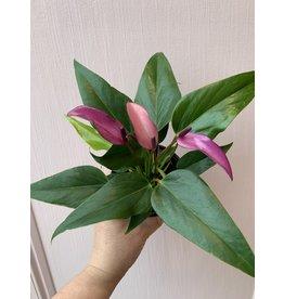 """Plant Shop at Junebug Magenta Anthurium 4"""""""