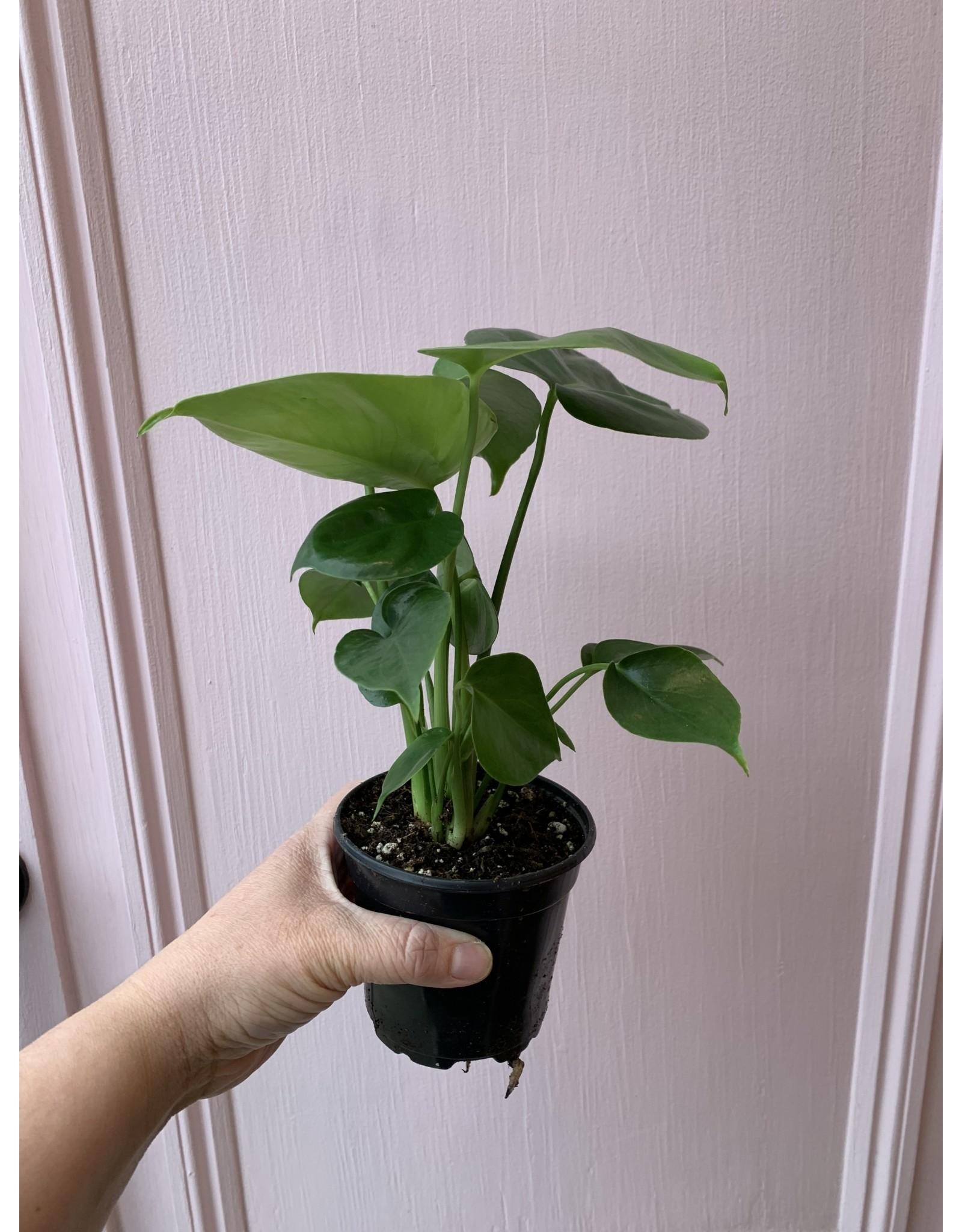 """Plant Shop at Junebug Split Leaf Philodendron 4"""""""