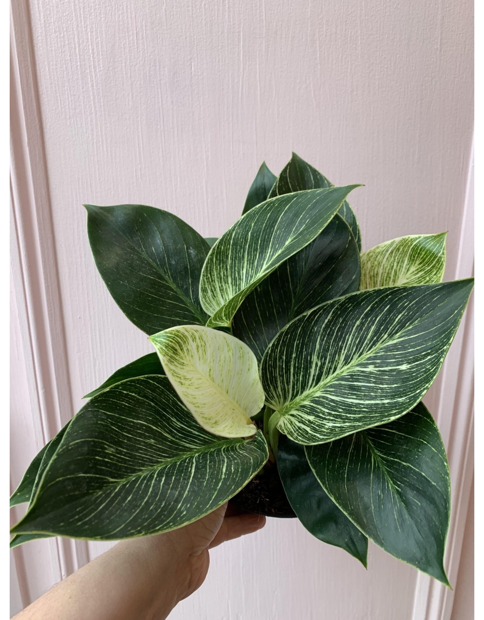 "Plant Shop at Junebug Philodendron Birkin 6"""