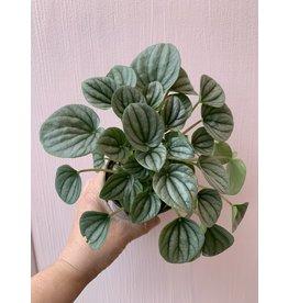 "Plant Shop at Junebug Silver Ripple Peperomia 4"""