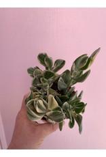 """Plant Shop at Junebug Variegated Jade 4"""""""