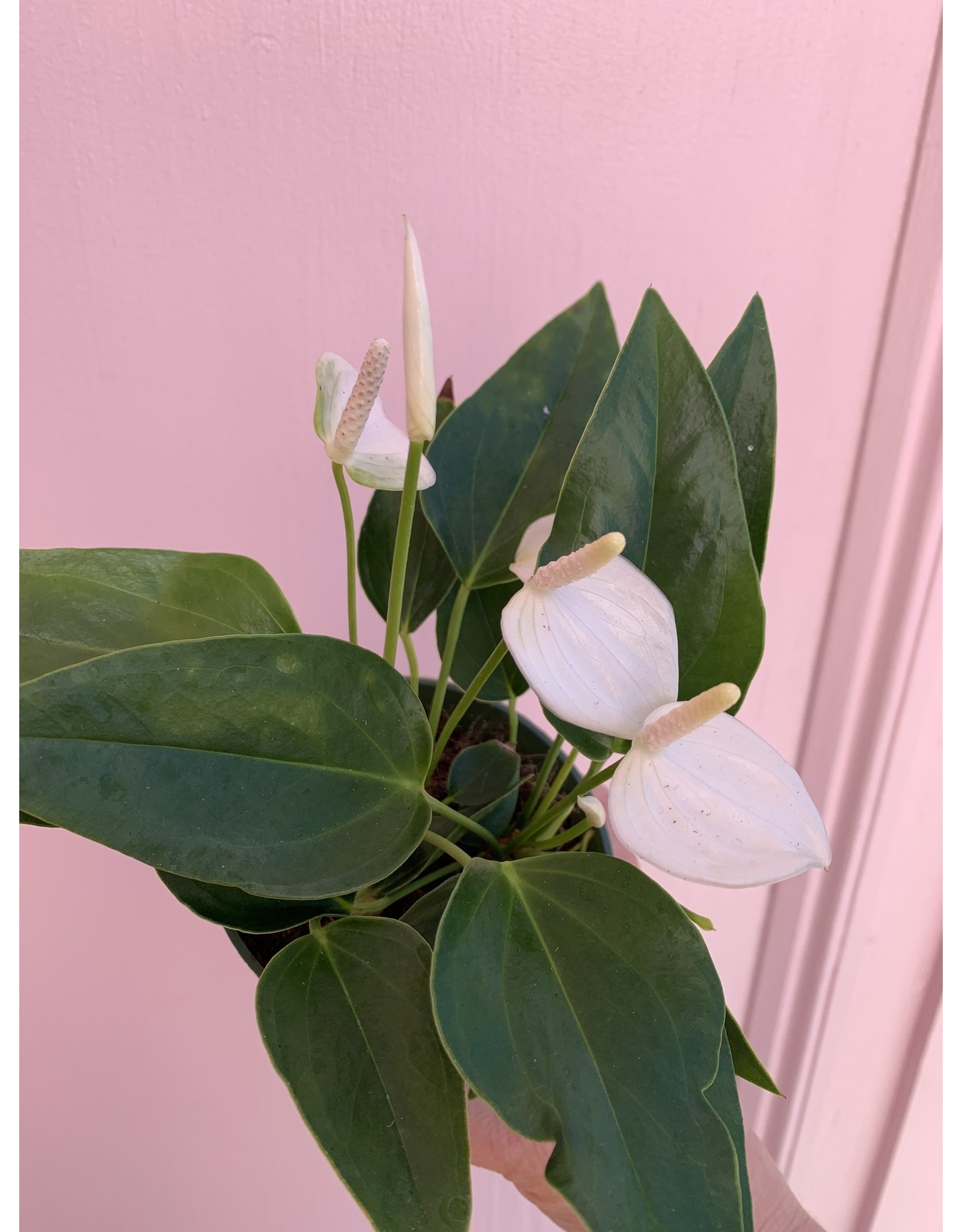 "Plant Shop at Junebug White Anthurium 4"""