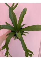 "Plant Shop at Junebug Bird's Nest Fern 4"""