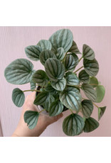 "Plant Shop at Junebug Ripple Peperomia 4"""