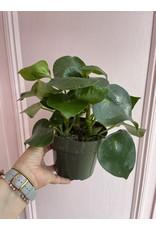 "Plant Shop at Junebug Peperomia 6"""