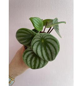 "Plant Shop at Junebug Watermelon Peperomia 4"""