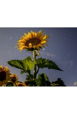 Nick Irwin Images Sunflower in Moonlight
