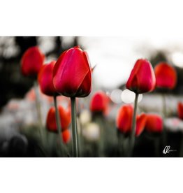 Nick Irwin Images Spring Tulips
