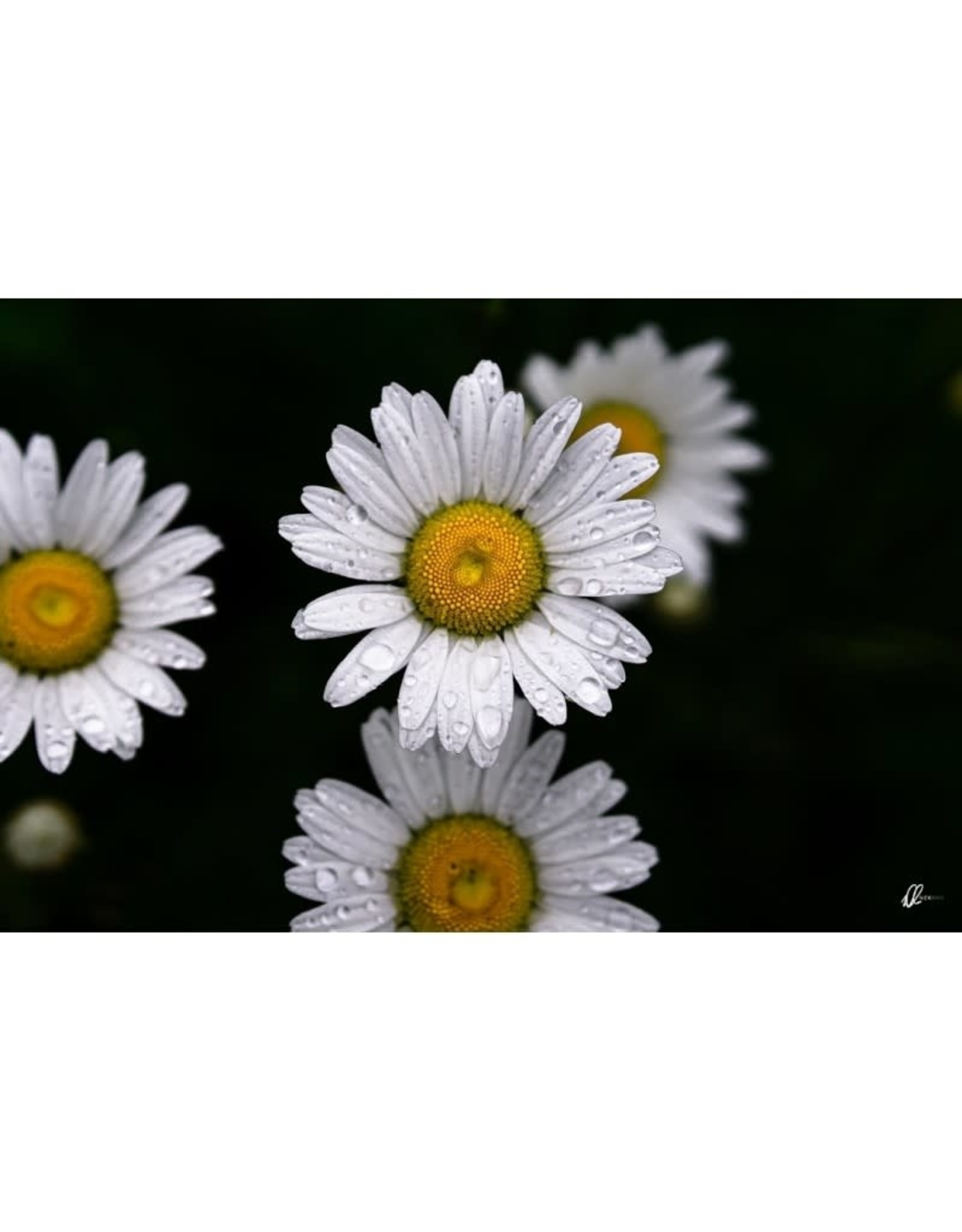 Nick Irwin Images Dripping Daisies