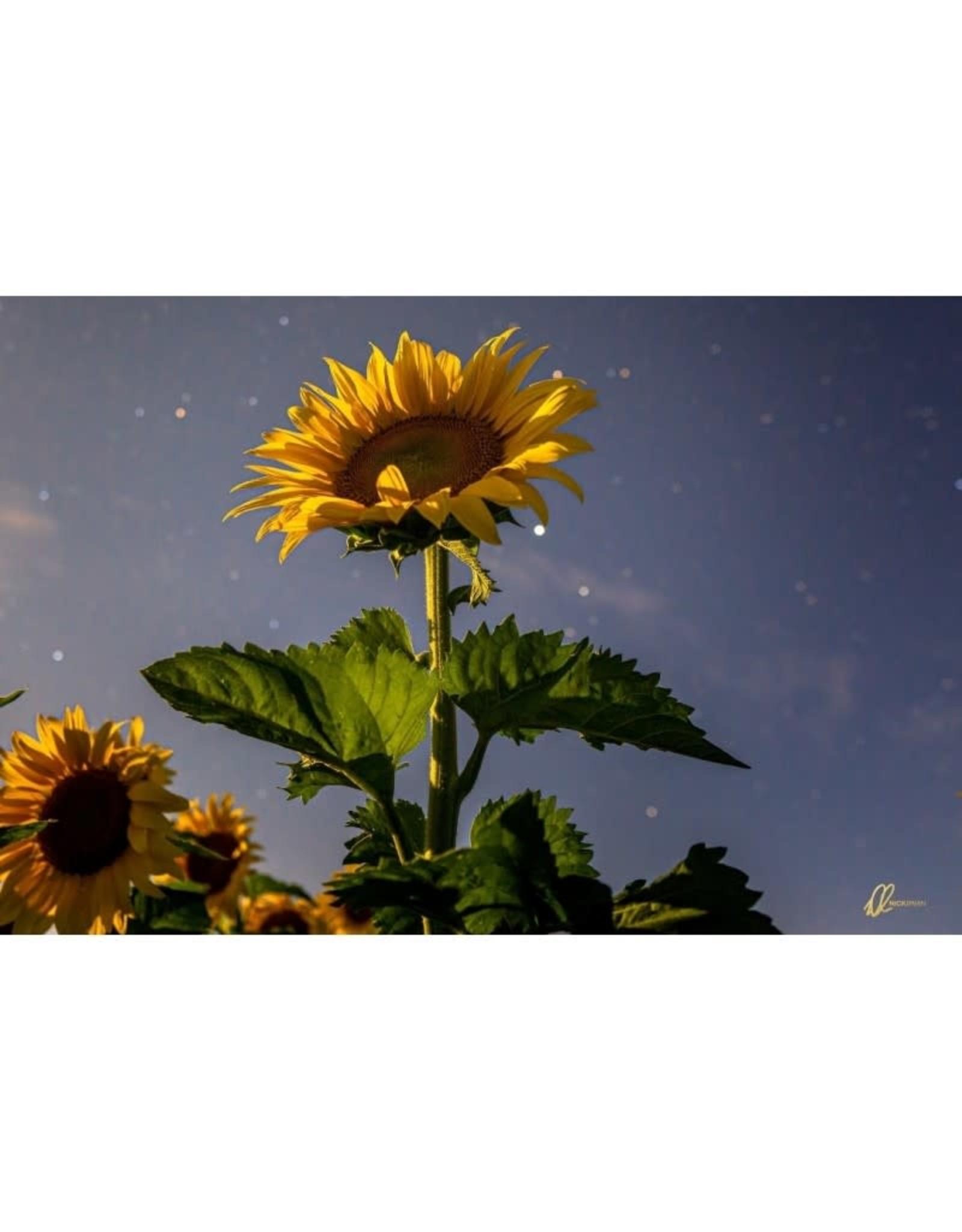 Nick Irwin Images Sunflower in Moonlight