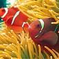 Ocean Surfari Beach Towel Clown Fish