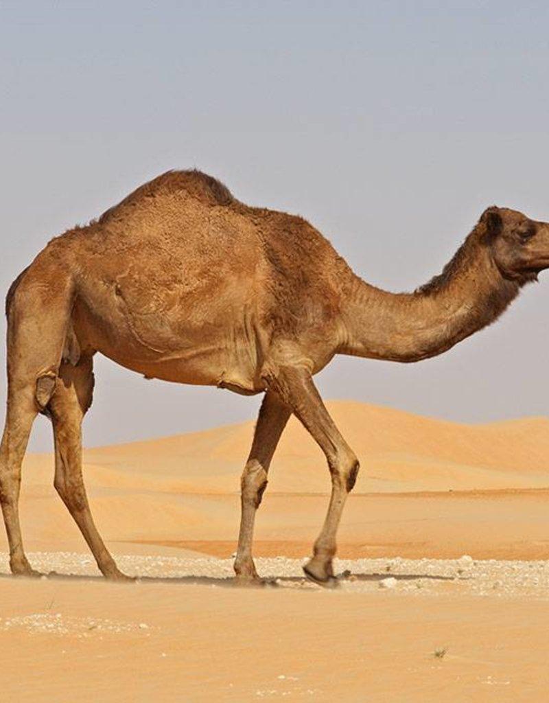 Desert Llama