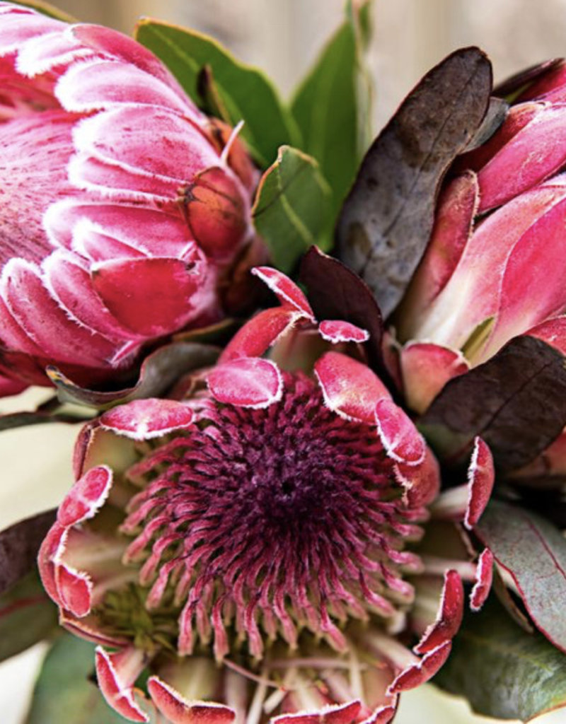 Pretty Protea Paint by Numer