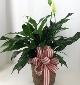 """6"""" PEACE LILY"""