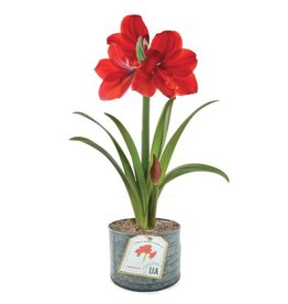Amaryllis Organic Grow Kit
