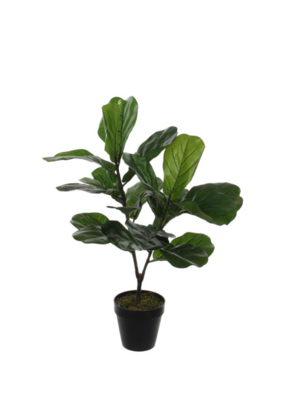 Potted Fiddle Fig  29.5""