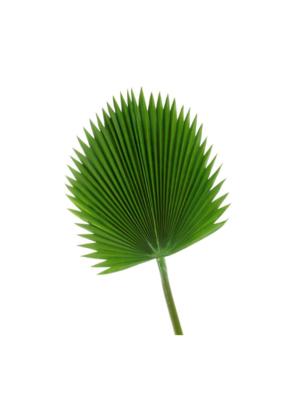 Leaf Fan Palm  Large