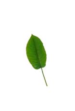 Banana Leaf Medium