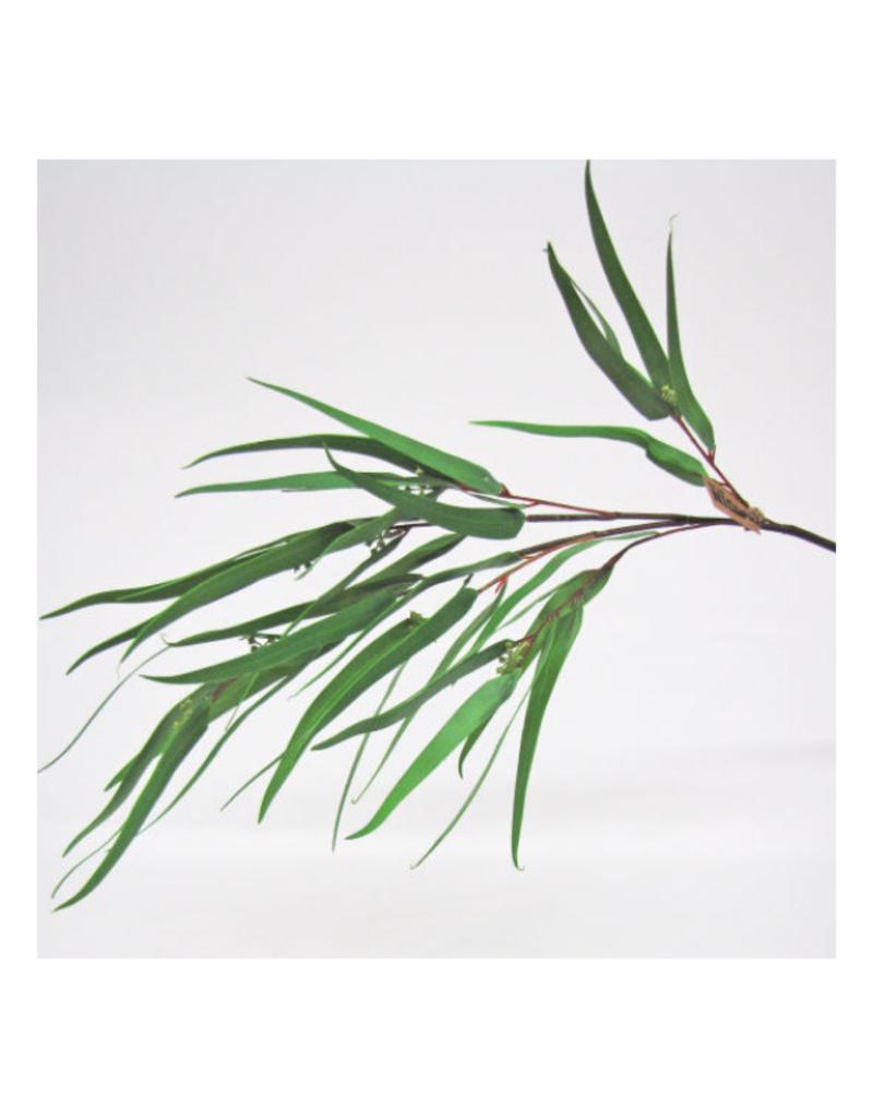 Seeded Needle Eucalyptus