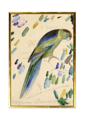 Barnard's Parakeet Art Print