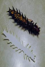 "Cohen's creatures Hellgrammite Large 3"""