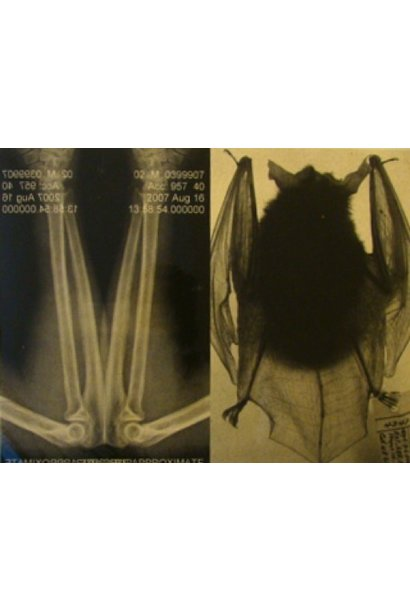 Natural Affinities I: Arm X Ray And Big Ear Bat