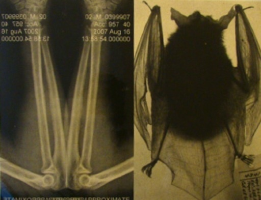 Natural Affinities I: Arm X Ray And Big Ear Bat-1